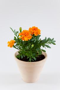 鉢植えのオレンジ色の花の写真素材 [FYI01428396]