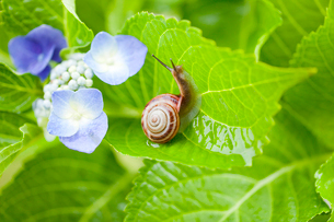 アジサイの葉の上のカタツムリの写真素材 [FYI01428431]
