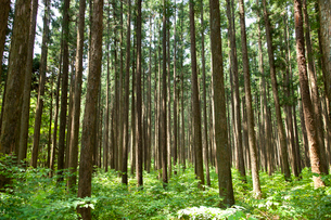 杉林の木漏れ日の写真素材 [FYI01428435]