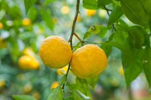 柚子園のユズの木と実の写真素材 [FYI01428451]