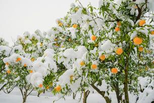 雪のユズ園の写真素材 [FYI01428484]