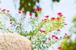 ミリオンベルの花の写真素材 [FYI01428578]
