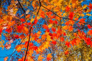 紅葉するカエデの写真素材 [FYI01428727]