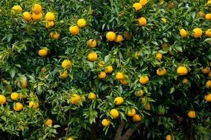 柚子園のユズの木と実の写真素材 [FYI01428752]