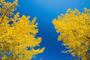 黄葉の銀杏と飛行機の写真素材 [FYI01428769]