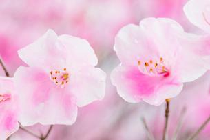 ヤシオツツジの花と水滴の写真素材 [FYI01428848]