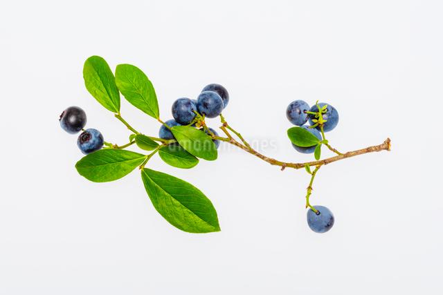 ブルーベリーの実と葉の写真素材 [FYI01428893]