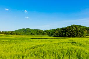 青い麦畑と里山と青空の写真素材 [FYI01428921]
