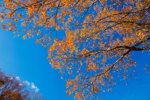 青空と紅葉するミズナラの大木の写真素材 [FYI01428940]
