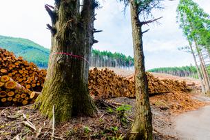 スギ林の伐採現場の写真素材 [FYI01428963]