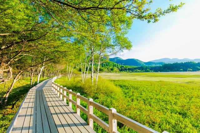 小田代原のシラカバ林を抜ける木道の写真素材 [FYI01429016]