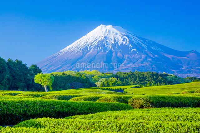 茶畑と富士山の写真素材 [FYI01429023]