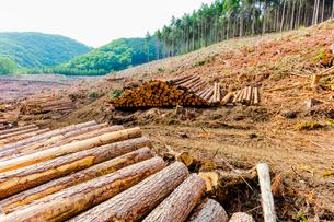 スギ林の伐採現場の写真素材 [FYI01429032]