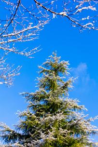 雪上がりのヒマラヤスギと青空の写真素材 [FYI01429045]