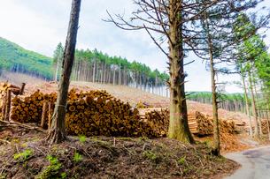 スギ林の伐採現場の写真素材 [FYI01429046]