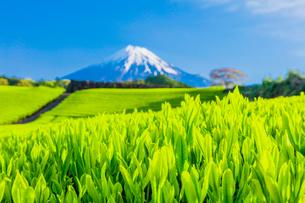 茶畑と富士山の写真素材 [FYI01429048]