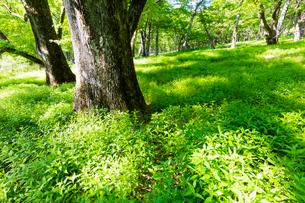 ハルニレとミズナラの森の写真素材 [FYI01429050]
