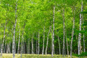 小田代原のシラカバ林の写真素材 [FYI01429075]