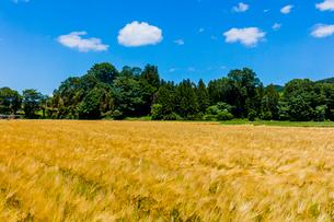 収穫期のオオムギの畑の写真素材 [FYI01429080]