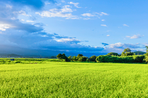 夏の夕方の稲田と雲の写真素材 [FYI01429094]