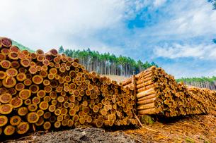 スギ林の伐採現場の写真素材 [FYI01429097]
