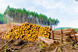 スギ林の伐採現場の写真素材 [FYI01429104]