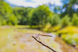 枝に止まるアキアカネの写真素材 [FYI01429162]