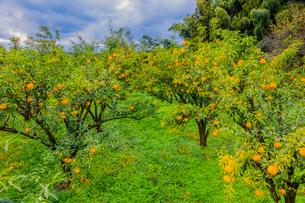 ユズの林の写真素材 [FYI01429177]