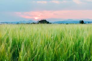 麦畑と夕日の写真素材 [FYI01429195]