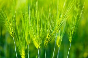 青い麦の穂の写真素材 [FYI01429218]