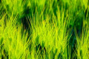青い麦の穂の写真素材 [FYI01429230]
