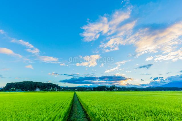 夏の稲田の夕景の写真素材 [FYI01429243]