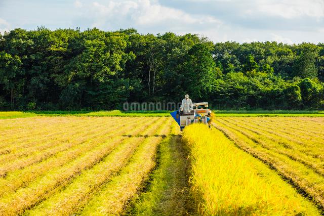 コンバインに乗り稲刈りする男性の写真素材 [FYI01429259]