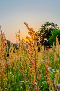 スイバと夕日の写真素材 [FYI01429266]