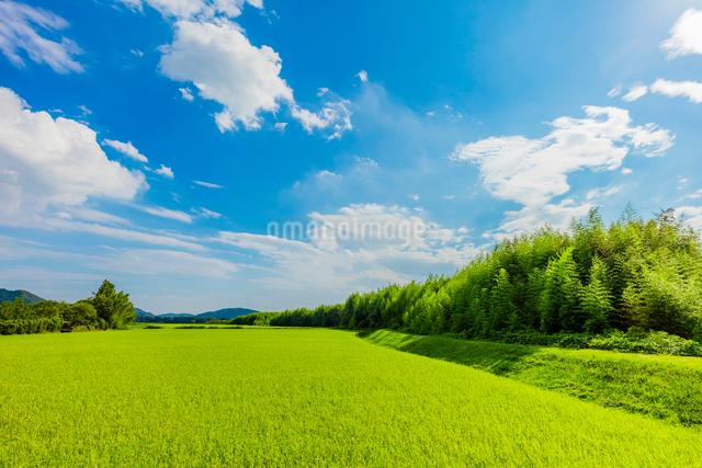夏の稲田と雲と青空の写真素材 [FYI01429280]