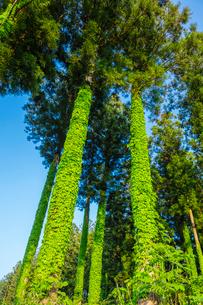 蔦が巻きつくスギ林の写真素材 [FYI01429293]