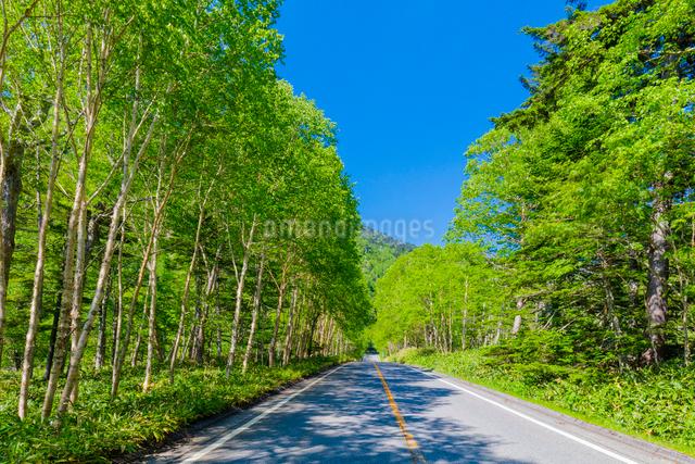 金精道路の新緑のダケカンバ林の写真素材 [FYI01429318]