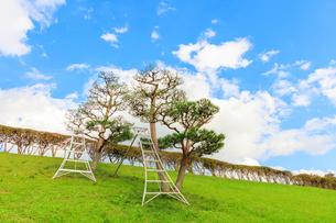 剪定中の赤松の木にかかった脚立の写真素材 [FYI01429337]
