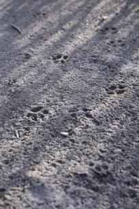 霜の上の動物の足跡の写真素材 [FYI01429365]