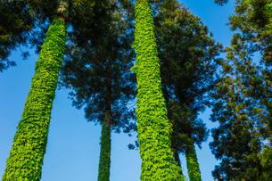 蔦が巻きつくスギ林の写真素材 [FYI01429385]