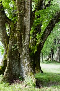 ハルニレの大木の写真素材 [FYI01429585]