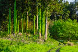 蔦が巻きつくスギ林の写真素材 [FYI01429598]
