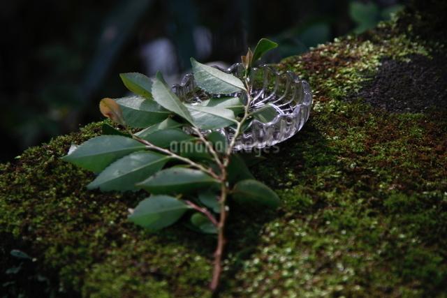 雨に濡れたヒサカキの写真素材 [FYI01429718]