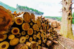 スギ林の伐採現場の写真素材 [FYI01429722]