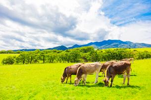 大笹牧場の牛の放牧の写真素材 [FYI01429725]
