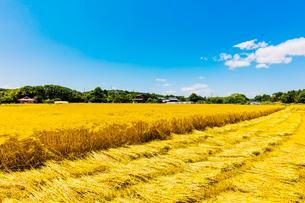 収穫時期のオオムギと麦わらの写真素材 [FYI01429761]