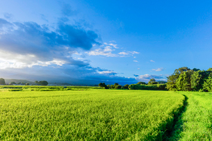 夏の夕方の稲田と雲の写真素材 [FYI01429777]