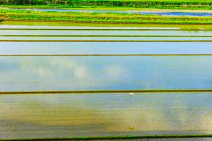 田植え後の水田と白鷺の写真素材 [FYI01429786]