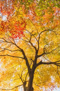 カエデの紅葉の写真素材 [FYI01429787]