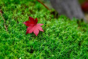 高野山 苔の上のもみじの写真素材 [FYI01429825]